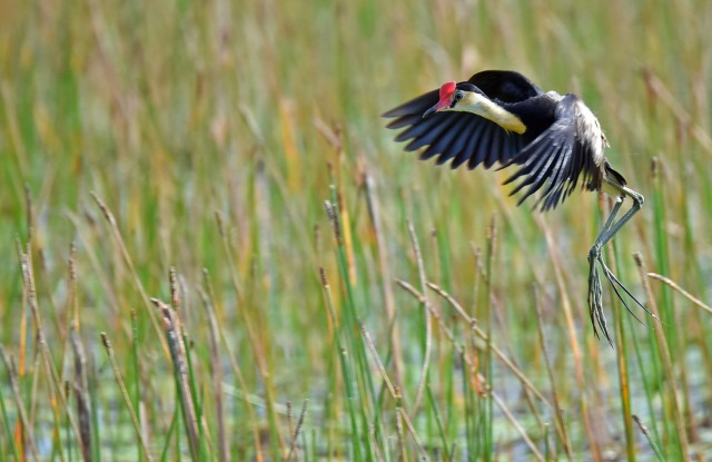 """Coming in to land"". Comb-crested Jacana, marreba Wetlands, Australia. Photo: David Clode."