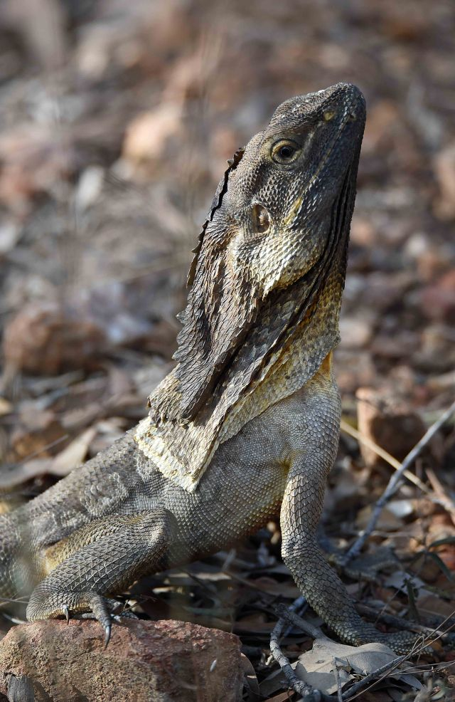 Frill-necked lizard, Mareeba Wetlands. Photo: David Cl;ode.