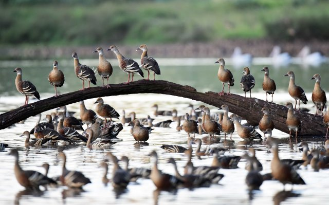 An exposed log is a favourite perching place for Plumed Whistling Ducks At Hasties Swamp. Photo: David Clode.