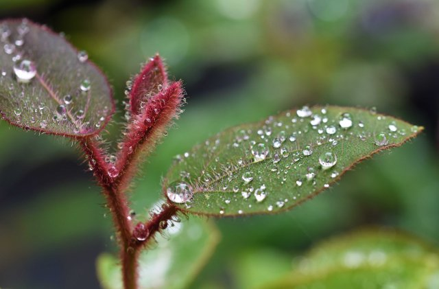 The growing tip of Eucalyptus torelliana cadagi gum covered in rain drops. Photo: David Clode.