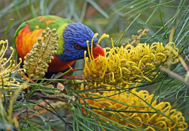 A rainbow Lorikeet visits a grevillea for nectar. Atherton, Australia. Photo: David Clode.