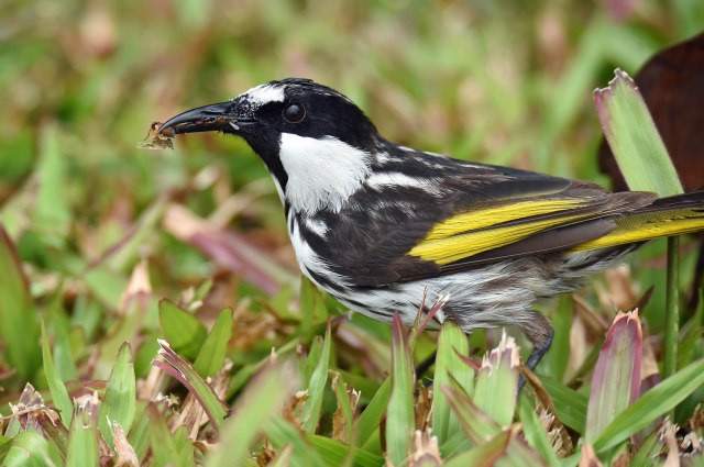 A bill full of insects. White-cheeked Honeyeater. Photo: David Clode.
