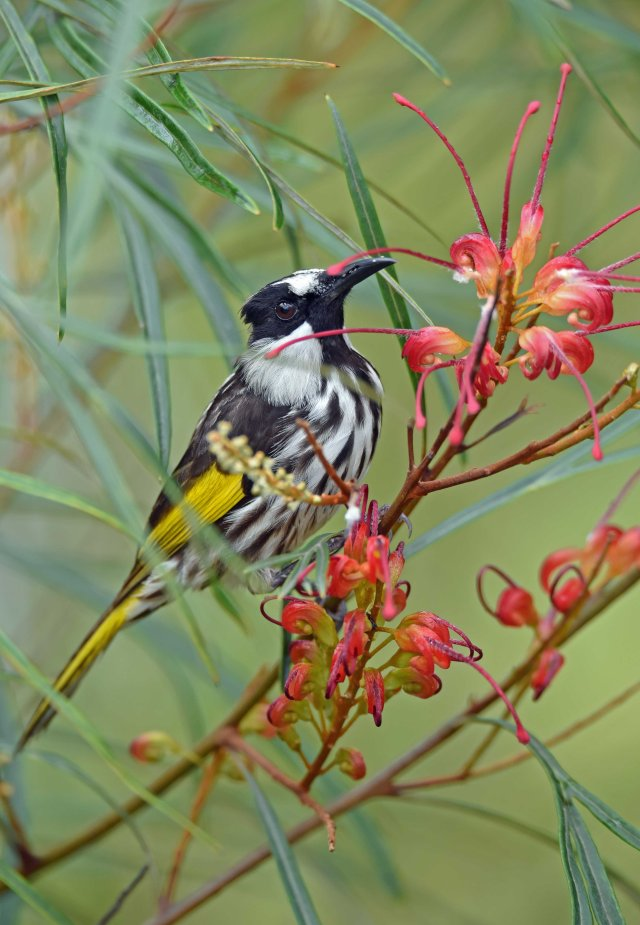 White-cheeked honeyeater on a grevillea hybrid. Atherton, Australia. Photo: David Clode.