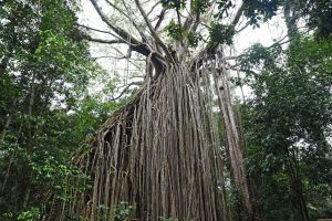 Curtain fig, Atherton Tablelands, Australia. . Photo: David Clode.