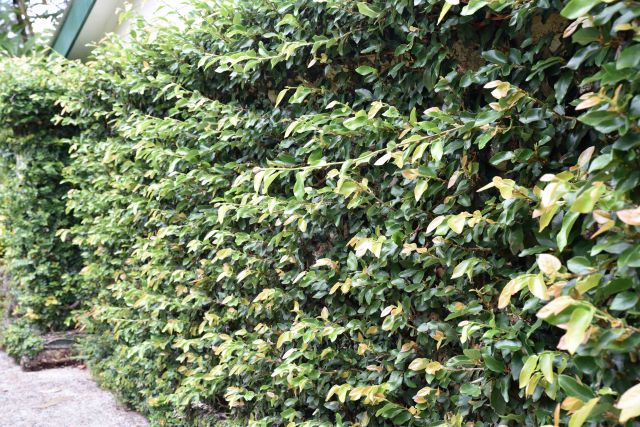 Ficus pumila growing on a wall. This can insulate against temperature extremes.