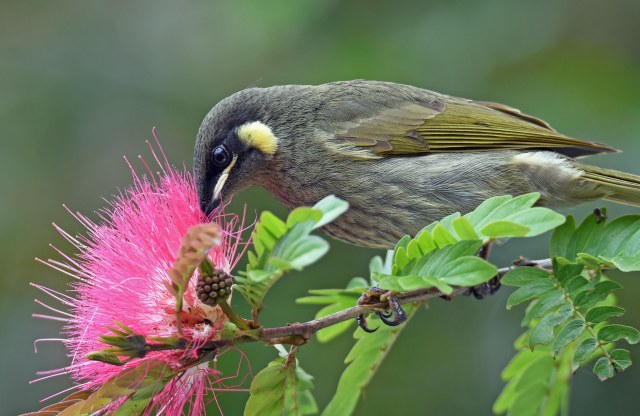 Lewins Honeyeater drinking nectar from a Calliandra surinamensis flower. Lake Barrine. Photo: David Clode.