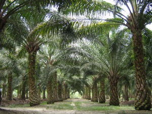 Oil palm plantation. Source: Wikimedia.