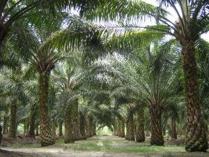 Oil palm plantation. Source: Wikimedia.