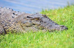 Crocodile portrait. Photo: David Clode.