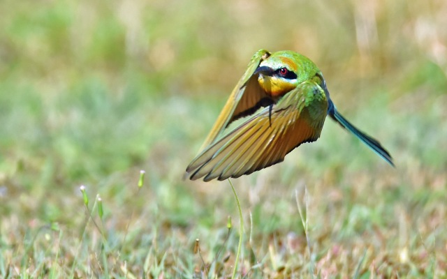 Rainbow Bee-eater. Photo: David Clode.