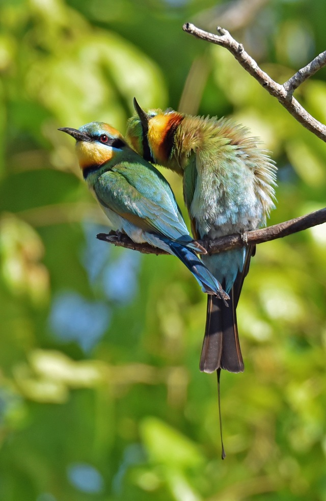 """Affectionate couple"". rainbow Bee-eaters. photo: David Clode."