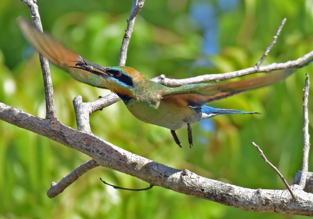 A Rainbow Bee-eater has caught a dragonfly. No mean feat! Photo: David Clode.