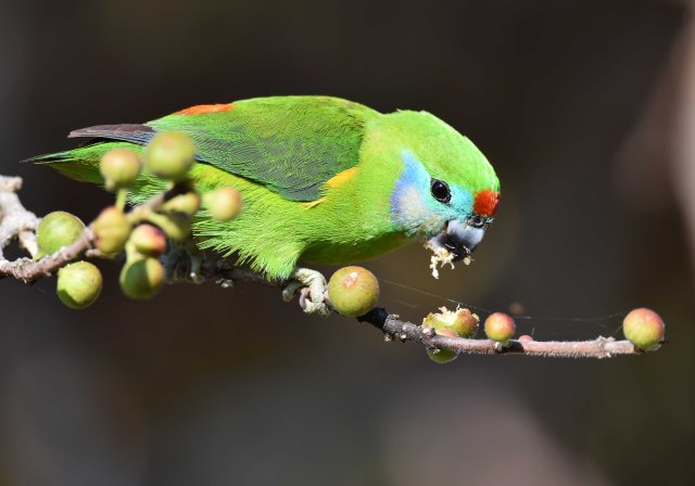 A double-eyed Figparrot eating figs. The seeds will be dispersed later by the bird.