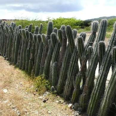 Cactus living fence. Photo: CoolCreativity.com.