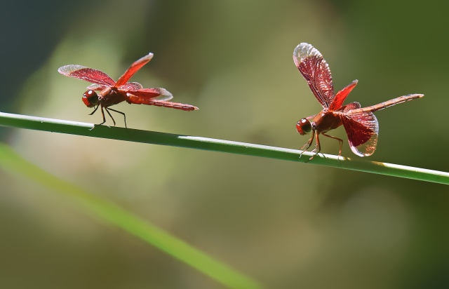 Neurothemis stigmatizans. Pond in the Cairns Botanic gardens, Australia. Photo: David Clode.