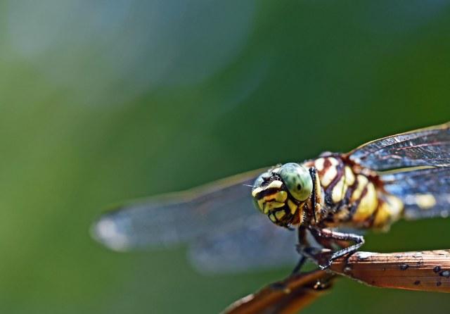 Ictinogomphus australis. Photo: David Clode.