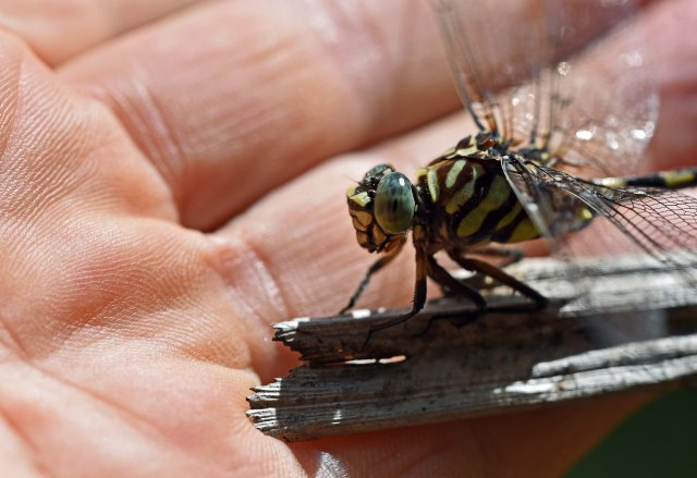 The same dragonfly in the three photos above eventually allowed be to touch its wings. Photo: David Clode.