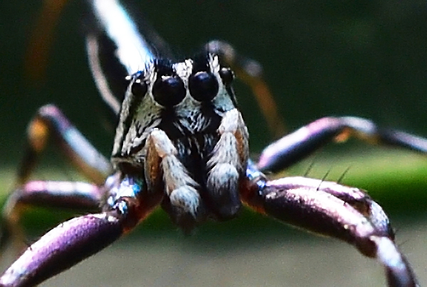 Jumping spider. Photo: David Clode.