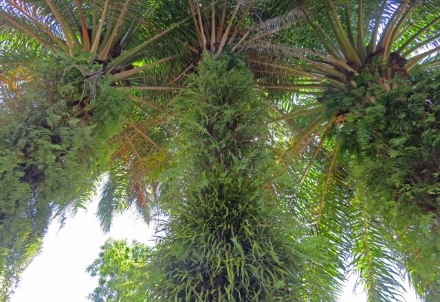 Epiphytic ferns growing on the trunks of oil palms. Photo: David Clode.