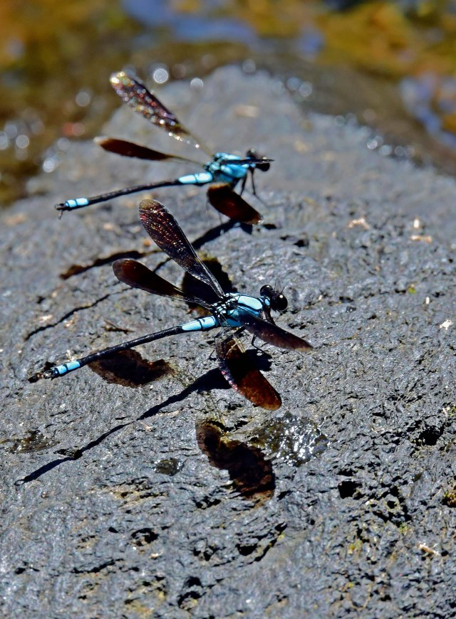 Tropical Rockmaster damselflies lined up like planes on a runway. Photo: David Clode.