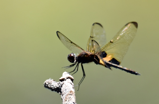 """Touch down'. The split second in which a dragonfly (Ryothemis phyllis) lands on it s perch. Photo: David Clode."