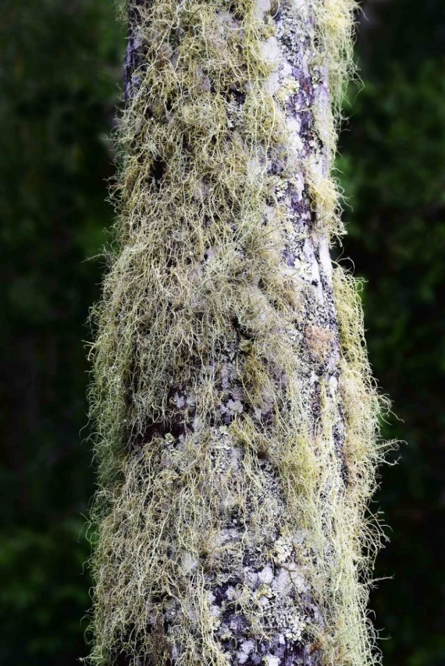 Spanish moss and lichen grwing on a palm tree trunk. Lake Barrine. Photo David Clode.