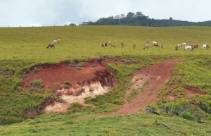 Gully erosion caused by allowing stock access to a steep area which should never have been deforested and should have been fenced off. Cathedral fig road, Atherton tablelands. Photo: David Clode.
