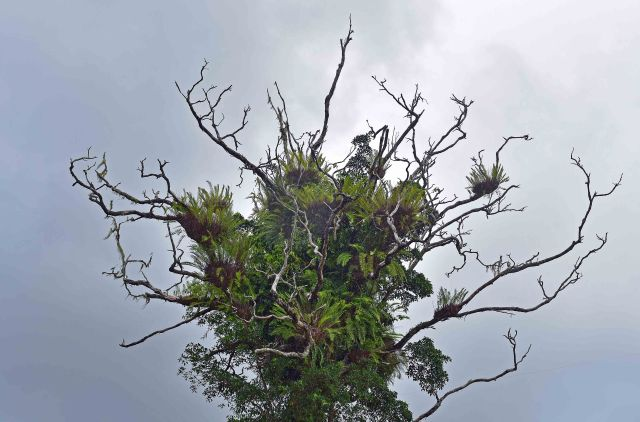 A dead tree covered in epiphytes, mostly Drynaria ferns. Cathedral Fig road, Atherton Tablelands. Photo: David Clode.