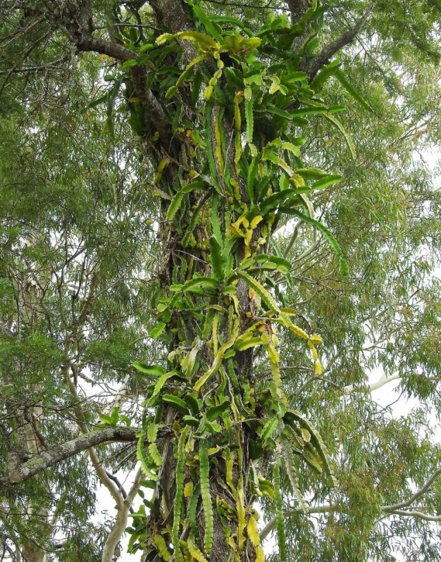 Dragon fruit growing up a tree. Cathedral fig road, Atherton Tablelands. David Clode.