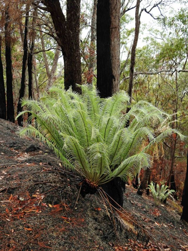 A cycad produces a fountain of new growth after a fire. gillies range. Phto: David Clode.