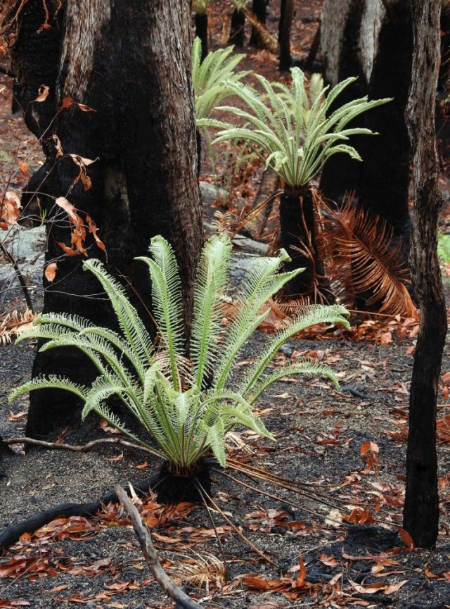 Cycads sprouting new leaves after a fire. Gillies Range, Australia. Photo David Clode.