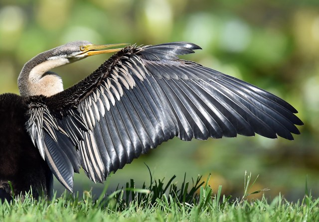 Darter, Freshwater lake, cairns, Australia, Photo: David Clode,