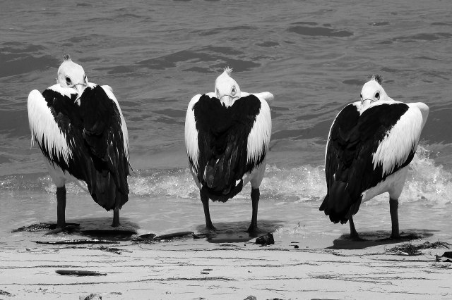 Pelican posse. Photo: David Clode.