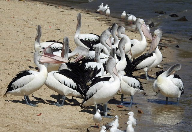 Birds on the Cairns Esplanade. Photo: David Clode.