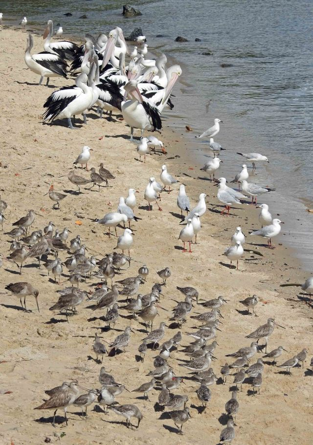 Birds on the Cairns Esplanade. David Clode.