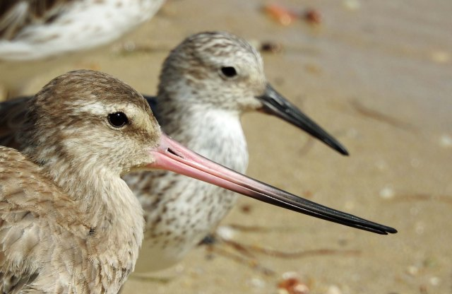 Bar-tailed Godwit. Cairns Esplanade, Australia. Photo: david Clode.