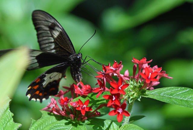 Swallowtail. Photo: David Clode.