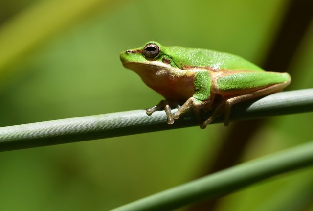 Northern Dwarf Tree Frog. Photo: David Clode.