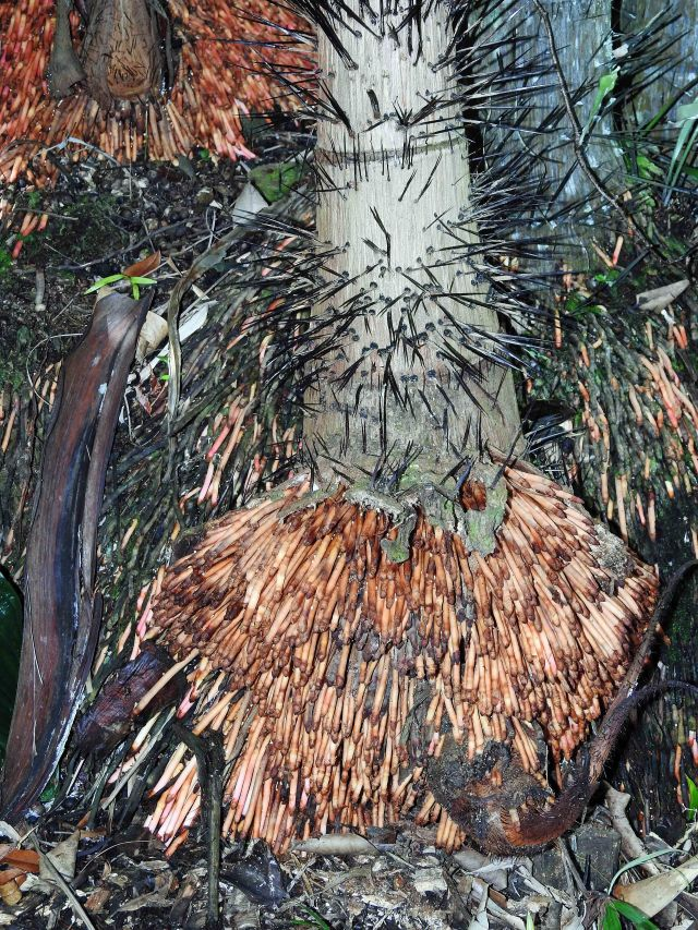 Nibung palm, showing new roots near the base of the trunk, and thorns. The thorns may prvent monkeys in SE Asia from getting to the fruits, so that the fruits are spred by birds or bats, which travel further than monkeys, distributing the seeds. Photo: David Clode.