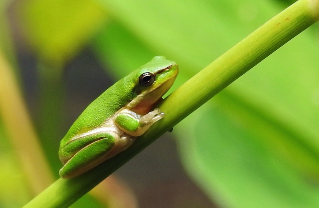 Northern Dwarf Treefrog. Photo: David Clode.