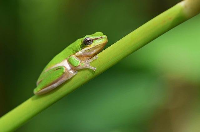 Northern Dwarf Tree Frog. Photo: David Clode..