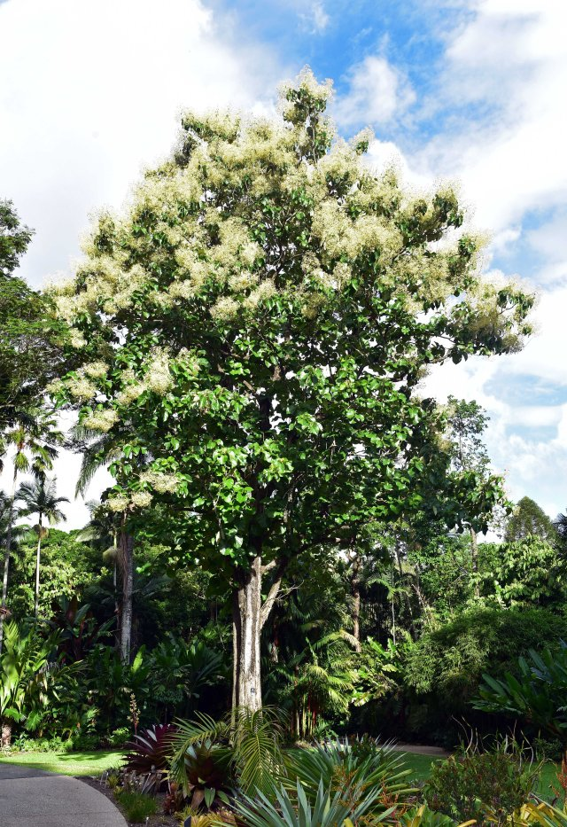 Teak tree Tectona grandis, Cairns Botanic Gardens. Photo: David Clode.