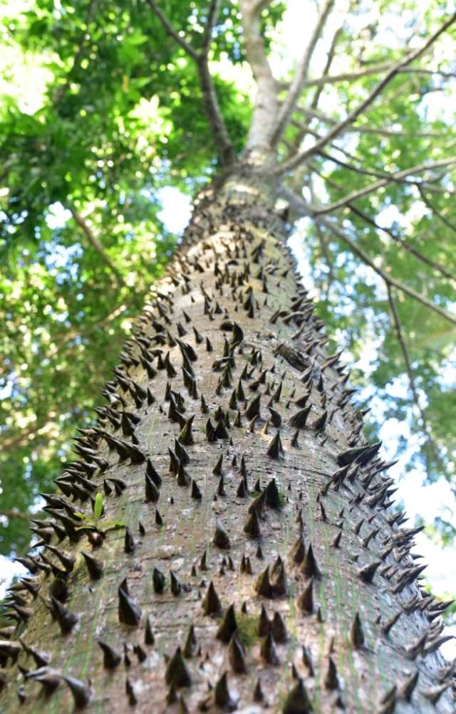 Chorisia speciosa (now Ceiba?). Cairns Botanic Gardens. Photo: David Clode.