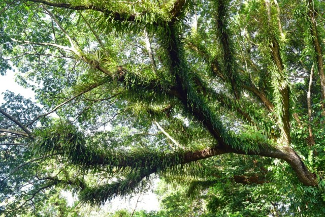 Epiphytes growing on the branches of a rain tree. Photo: David Clode.