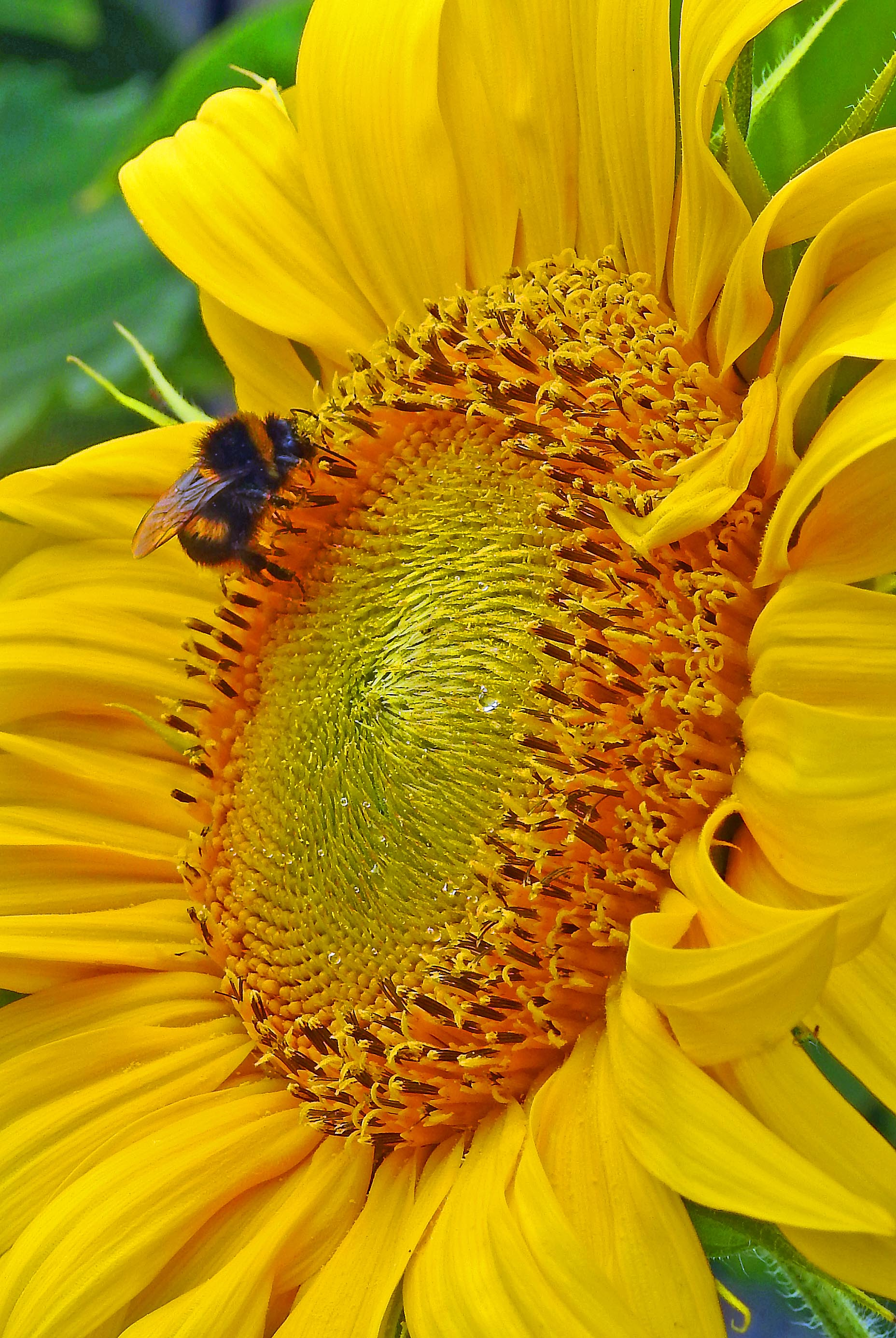 Mixed improved fallows green manure succession reforestation a carpenter bee visiting a sunflower photo david clode mightylinksfo